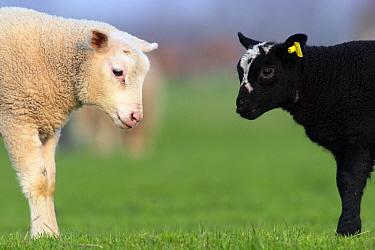 Domestic Sheep (Ovis aries) black and white lamb, Zeeland, Netherlands  -  Jasper Doest
