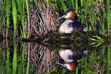 Great Crested Grebe (Podiceps cristatus) on nest, Vlaardingen, South Holland, Netherlands  -  Jasper Doest