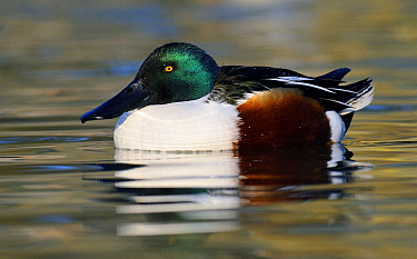 Northern Shoveler (Anas clypeata) male on the water, Friesland, Netherlands  -  Jasper Doest