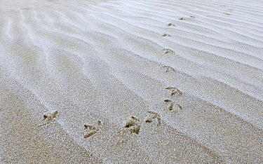 Sanderling (Calidris alba) tracks in the mud, Noord-Holland, Netherlands  -  Jasper Doest