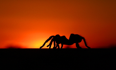 Texas Brown Tarantula (Aphonopelma hentzi) silhouetted against sunset, George West, Texas  -  Jasper Doest