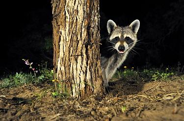 Raccoon (Procyon lotor) peeking out from behind tree, George West, Texas  -  Jasper Doest