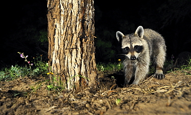 Raccoon (Procyon lotor) digging for grub, George West, Texas  -  Jasper Doest