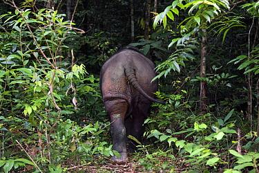 Sumatran Rhinoceros (Dicerorhinus sumatrensis) male, Way Kambas National Park, Sumatra, Indonesia  -  Stephen Belcher