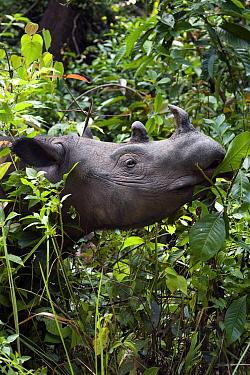 Sumatran Rhinoceros (Dicerorhinus sumatrensis) feeding, Way Kambas National Park, Sumatra, Indonesia  -  Stephen Belcher