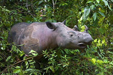 Sumatran Rhinoceros (Dicerorhinus sumatrensis) female, Way Kambas National Park, Sumatra, Indonesia  -  Stephen Belcher
