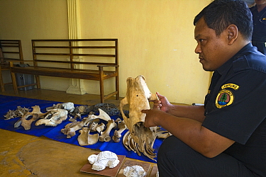 Rhino protection unit officer holding poached sumatran rhino skull and pointing to bullet hole, Way Kambas National Park, Sumatra, Indonesia  -  Stephen Belcher