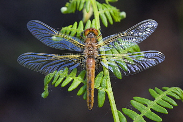 Scarce Chaser (Libellula fulva) drying after its first flight, Noord-Brabant, Netherlands
