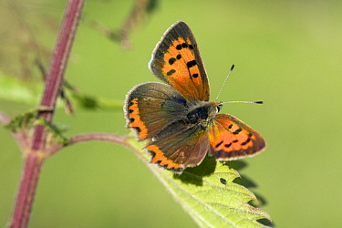 Small Copper (Lycaena phlaeas) female on nettle, Noord-Brabant, Netherlands