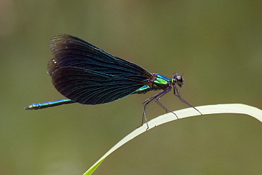 Beautiful Demoiselle (Calopteryx virgo) male in defensive posture, France