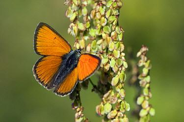 Purple-edged Copper (Lycaena hippothoe) butterfly on Monk's Rhubarb (Rumex alpinus), Oberwallis, Switzerland