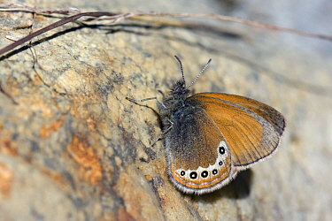 Alpine Heath (Coenonympha gardetta) butterfly, Oberwallis, Switzerland