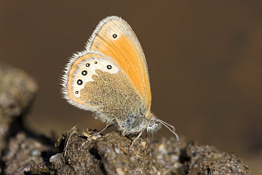 Alpine Heath (Coenonympha gardetta) taking minerals from cow droppings, Oberwallis, Switzerland