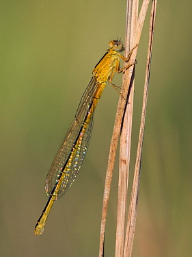 Scarce Blue-tailed Damselfly (Ischnura pumilio) young female on a stem, Noord-Brabant, Netherlands