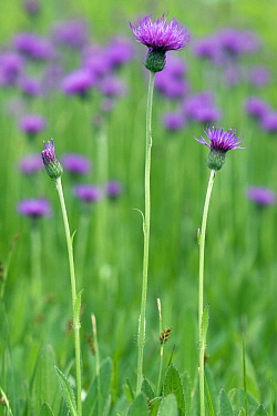 Meadow Thistle (Cirsium foliosum) flowers, Noord-Brabant, Netherlands