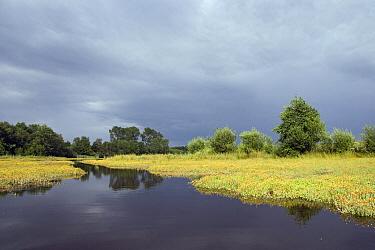 St. John's-wort (Clusiaceae) flowering in marsh, Noord-Brabant, Netherlands