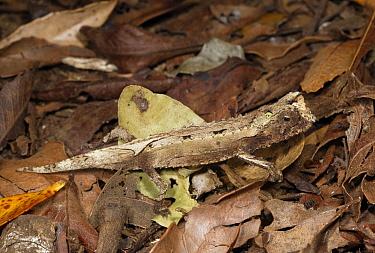 Dwarf Chameleon (Brookesia exarmata), Amber Mountain National Park, Madagascar  -  Oliver Lucanus/ NiS