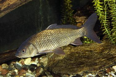 European Carp (Cyprinus carpio) juvenile, Saint Lawrence River, Canada  -  Oliver Lucanus/ NiS