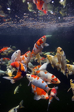 European Carp (Cyprinus carpio), domesticated koi, Japan  -  Oliver Lucanus/ NiS
