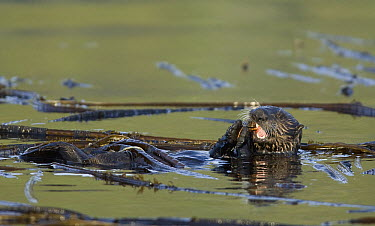 Sea Otter (Enhydra lutris) feeding on crab amid kelp, Kodiak, Alaska  -  Matthias Breiter