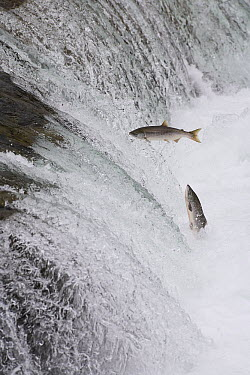 Sockeye Salmon (Oncorhynchus nerka) pair attempting to jump Brooks Falls, Katmai National Park, Alaska  -  Matthias Breiter