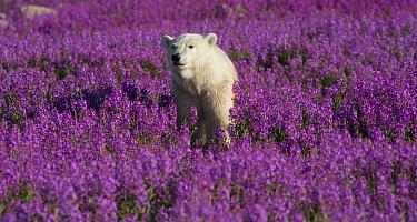 Polar Bear (Ursus maritimus) in a field of fireweed, Hudson Bay, Canada  -  Matthias Breiter