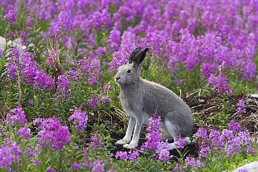Arctic Hare (Lepus arcticus) in summer coat amid fireweed, Hudson Bay, Canada  -  Matthias Breiter
