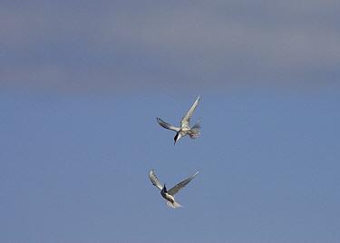 Arctic Tern (Sterna paradisaea) pair courting in mid-air, Hudson Bay, Canada  -  Matthias Breiter