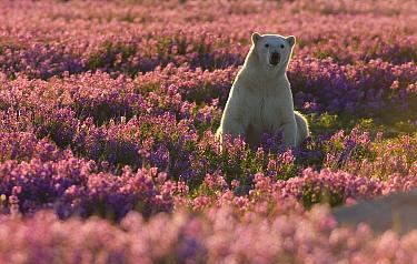 Polar Bear (Ursus maritimus) female in a field of fireweed, Hudson Bay, Canada  -  Matthias Breiter