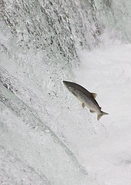Sockeye Salmon (Oncorhynchus nerka) attempting to jump Brooks Falls, Katmai National Park, Alaska  -  Matthias Breiter
