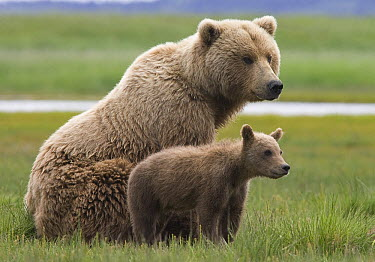 Grizzly Bear (Ursus arctos horribilis) female with yearling cub, Katmai National Park, Alaska  -  Matthias Breiter