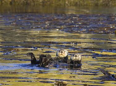 Sea Otter (Enhydra lutris) pair in kelp bed, Kodiak, Alaska  -  Matthias Breiter