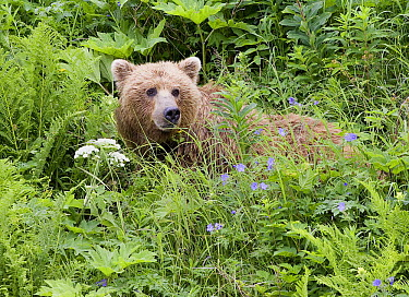 Grizzly Bear (Ursus arctos horribilis) female among flowers feeding on cow parsnip, Katmai National Park, Alaska  -  Matthias Breiter