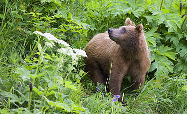 Grizzly Bear (Ursus arctos horribilis) yearling cub feeding on cow parsnip, Katmai National Park, Alaska  -  Matthias Breiter