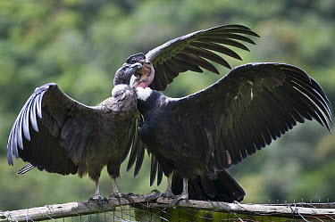 Andean Condor (Vultur gryphus) pair, wild birds visiting captives in rehabilitation center, Condor Huasi Project, Hacienda Zuleta, Cayambe, Ecuador  -  Tui De Roy