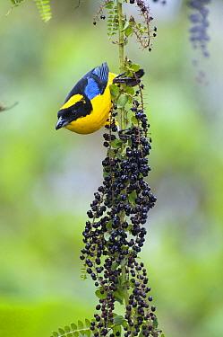 Blue-winged Mountain-Tanager (Anisognathus somptuosus), Bellavista Cloud Forest Reserve, Ecuador  -  Tui De Roy