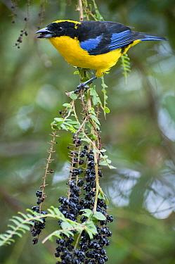 Blue-winged Mountain-Tanager (Anisognathus somptuosus) feeding on fruit, Bellavista Cloud Forest Reserve, Ecuador  -  Tui De Roy