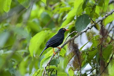 Glossy-black Thrush (Turdus serranus) in rainforest tree, Bellavista Cloud Forest Reserve, Ecuador  -  Tui De Roy