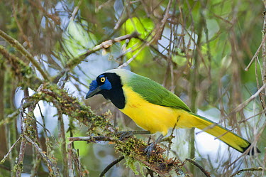 Green Jay (Cyanocorax yncas) in canopy, San Isidro Cloud Forest, Ecuador  -  Tui De Roy