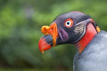 King Vulture (Sarcoramphus papa) captive in anticipation for release, Andean foothills, Ecuador  -  Tui De Roy