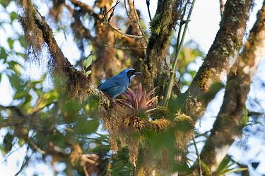 Turquoise Jay (Cyanolyca turcosa) perching beside bromeliad in canopy, Bellavista Cloud Forest Reserve, Ecuador  -  Tui De Roy