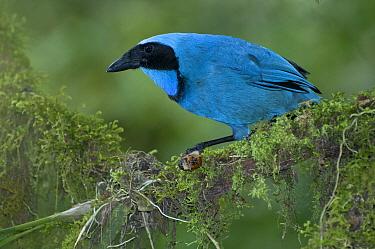 Turquoise Jay (Cyanolyca turcosa), Bellavista Cloud Forest Reserve, Ecuador  -  Tui De Roy