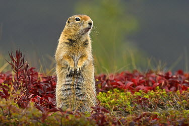 Arctic Ground Squirrel (Spermophilus parryii) standing guard, Alaska  -  Jim Brandenburg