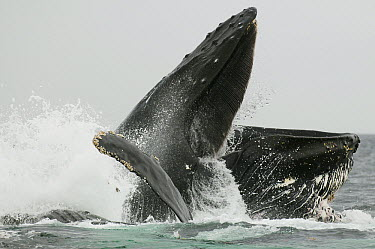 Humpback Whale (Megaptera novaeangliae) emerging to swallow prey as the final step for bubble-net feeding, Chatham Strait, Alaska  -  Kevin Schafer
