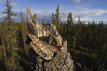 Northern Hawk Owl (Surnia ulula) nesting in tree stump, Alaska  -  Michael Quinton