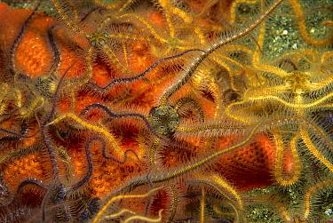 Brittlestar (Ophiothrix sp) group on seastar, Santa Barbara Island, Channel Islands, California  -  Richard Herrmann