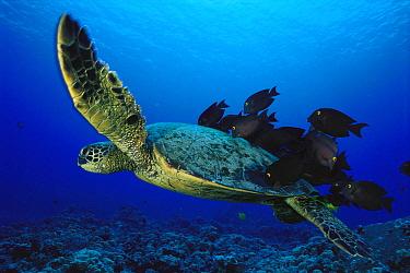 Green Sea Turtle (Chelonia mydas) being cleaned by Yellow-eyed Surgeonfish (Ctenochaetus strigosus), Kona Coast, Hawaii  -  Richard Herrmann