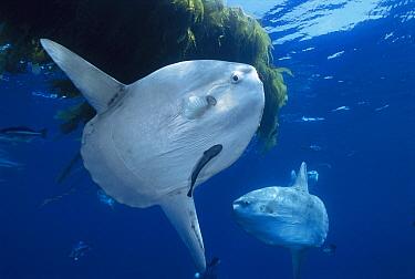 Ocean Sunfish (Mola mola) pair near kelp, San Diego, California  -  Richard Herrmann