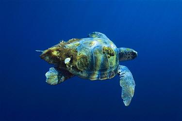Loggerhead Sea Turtle (Caretta caretta) with invertebrates on its shell, San Diego, California  -  Richard Herrmann