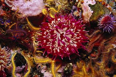 McPeak Anemone (Urticina mcpeaki), Santa Barbara Island, California  -  Richard Herrmann